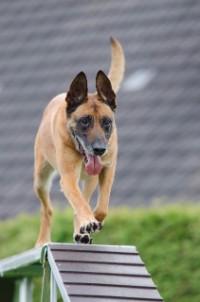 Bekijk details van Kindercollege | Hoe word een hond een politiehond? | 8+